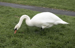 Cisne blanco que pasta Foto de archivo libre de regalías