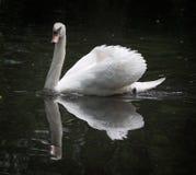 Cisne blanco que presenta para un retrato Fotos de archivo