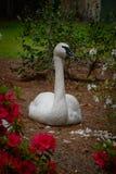 Cisne blanco que presenta para un retrato Imágenes de archivo libres de regalías