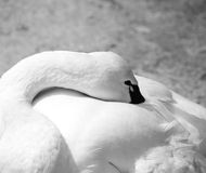 Cisne blanco que presenta para un retrato Imagen de archivo