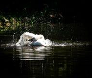 Cisne blanco que toma un baño Fotos de archivo