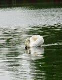 Cisne blanco real Foto de archivo