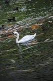 Cisne blanco rodeado por Koi Fish Foto de archivo libre de regalías