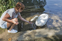 Cisne blanco salvaje bronceado de la alimentación caucásica de la mujer en sangrado, Eslovenia Foto de archivo