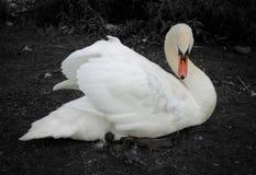 Cisne blanco y negro con el pico coloreado Imagenes de archivo