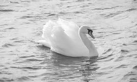 Cisne blanco y negro en el agua Fotos de archivo libres de regalías
