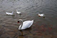 Cisne blanco y pescados rojos Imagen de archivo