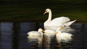 Cisne blanco y tres patos blancos Foto de archivo