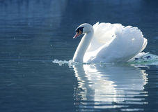Cisne bonita Imagem de Stock