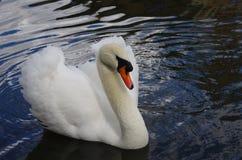 Cisne bonita Fotos de Stock Royalty Free