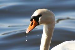 Cisne bonita Imagens de Stock Royalty Free