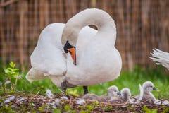 cisne bonita da mãe e cisnes pequenas imagem de stock royalty free