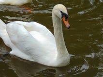 Cisne bonita em um lago Imagens de Stock