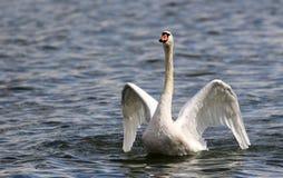 A cisne bonita espalha suas asas Fotografia de Stock