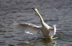 A cisne bonita espalha suas asas Fotos de Stock Royalty Free