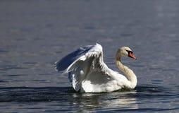 A cisne bonita espalha suas asas Fotografia de Stock Royalty Free