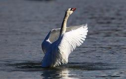 A cisne bonita espalha suas asas Imagem de Stock