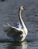 A cisne bonita espalha suas asas Imagens de Stock Royalty Free