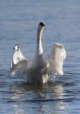 A cisne bonita espalha suas asas Imagens de Stock