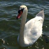 Cisne bonita grande na água imagens de stock