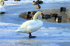 Cisne bonita no gelo no inverno, Foto de Stock Royalty Free