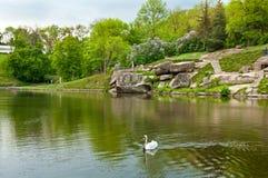 Cisne bonita no lago no parque de Sofiyivsky em Uman, Ucrânia Imagem de Stock