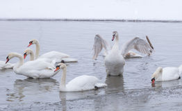 Cisne bonita no rio congelado Danúbio Imagens de Stock Royalty Free