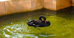 Cisne bonita preta imagens de stock
