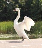 Cisne bonita que estica para fora suas asas Fotografia de Stock