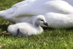 Cisne bonito do bebê, cisne novo necked preto da cisne Fotografia de Stock