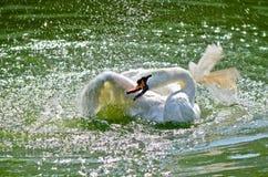 Cisne branca. Água. Pulverizador. Fotografia de Stock