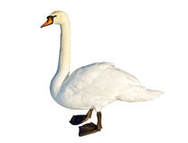 Cisne branca Fotografia de Stock Royalty Free