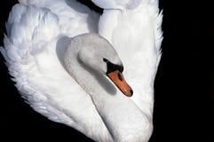 Cisne branca Fotos de Stock