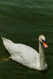 A cisne branca Fotos de Stock