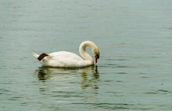 A cisne branca Imagens de Stock Royalty Free
