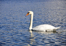 Cisne branca Fotos de Stock Royalty Free
