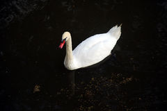 A cisne branca Fotografia de Stock Royalty Free