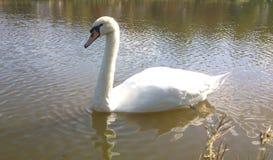 Cisne branca Imagem de Stock