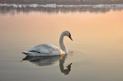 Cisne branca Foto de Stock