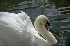 Cisne branca Imagem de Stock Royalty Free