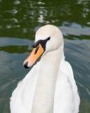 Cisne branca Imagens de Stock Royalty Free