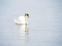 Cisne branca Imagens de Stock