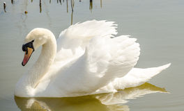 Cisne branca bonita na lagoa Imagens de Stock