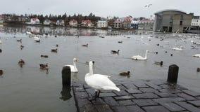 A cisne branca bonito em uma costa do lago island?s da cidade est? tomando a parte de p?o da m?o dos povos video estoque