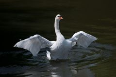 Cisne branca com asas da abertura Foto de Stock