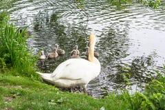 Cisne branca com cisnes novos Foto de Stock
