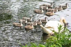Cisne branca com cisnes novos Imagem de Stock Royalty Free
