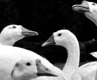 Cisne branca com fundo preto imagem de stock royalty free