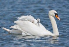 Cisne branca com os pintainhos bonitos que montam nela para trás Fotos de Stock