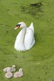Cisne branca com os três patinhos que nadam na lentilha-d'água Fotografia de Stock